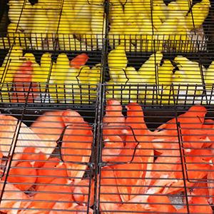 lotes-de-canarios